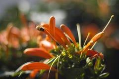 Abeja que se coloca en una flor que sube anaranjada Imagen de archivo libre de regalías