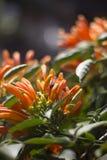 Abeja que se coloca en una flor que sube anaranjada Imágenes de archivo libres de regalías