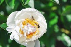 Abeja que se sienta dentro de la flor blanca de la peonía Fotos de archivo