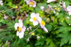 Abeja que se sienta en cierre rosa claro de la flor para arriba en parque Imagenes de archivo