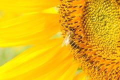 Abeja que se sienta en el girasol amarillo Fotos de archivo libres de regalías