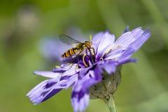 Abeja que se sienta en la flor Foto de archivo