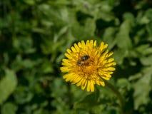 Abeja que se sienta en la flor amarilla del diente de león Fotografía de archivo libre de regalías