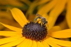 Abeja que se sienta en la flor amarilla en la opinión del primer Imágenes de archivo libres de regalías