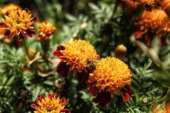 Abeja que se sienta en la flor anaranjada de la maravilla Fotos de archivo libres de regalías