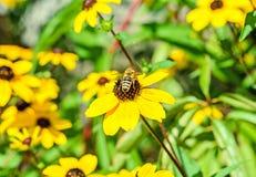 Abeja que se sienta en la flor del amarillo del triloba del Rudbeckia, Susan browneyed Imágenes de archivo libres de regalías