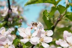 Abeja que se sienta en la flor del manzano Imagen de archivo libre de regalías