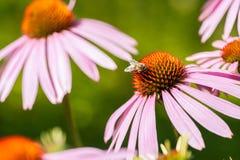 Abeja que se sienta en la flor del purpurea del Echinacea Foto de archivo