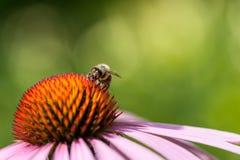Abeja que se sienta en la flor del purpurea del Echinacea Fotografía de archivo libre de regalías