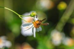 Abeja que se sienta en la flor salvaje Imágenes de archivo libres de regalías