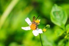 Abeja que se sienta en la flor salvaje Imagen de archivo