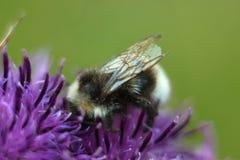 Abeja que se sienta en la flor violeta de la bardana Foto de archivo