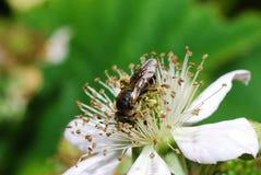 Abeja que se sienta en la zarzamora del flor Imagen de archivo