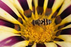 Abeja que se sienta en tarde floreciente del Gazania de la flor Fotos de archivo