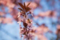 Abeja que se sienta en un árbol floreciente blanco Fotos de archivo libres de regalías