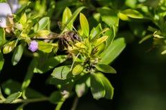 Abeja que se sienta en un tiro de la macro del arbusto floreciente Fotos de archivo libres de regalías