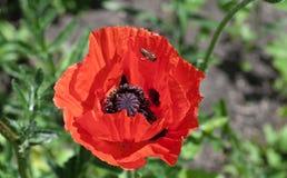 Abeja que se sienta en una amapola del rojo de la flor Imágenes de archivo libres de regalías