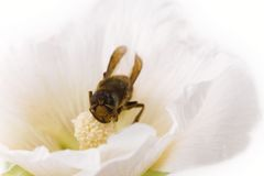 Abeja que se sienta en una flor Fotografía de archivo
