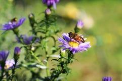 Abeja que se sienta en una flor Imagen de archivo libre de regalías