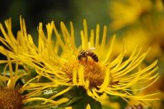 Abeja que se sienta en una flor Foto de archivo