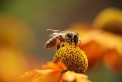 Abeja que se sienta en una flor Fotografía de archivo libre de regalías