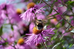 Abeja que se sienta en una flor Fotos de archivo