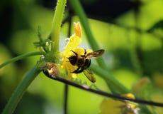 Abeja que se sienta en una flor amarilla Foto de archivo libre de regalías