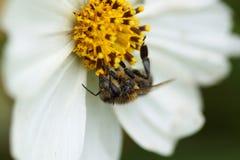 Abeja que se sienta en una flor blanca Foto de archivo libre de regalías