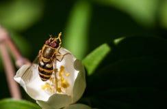 Abeja que se sienta en una flor blanca Imagen de archivo