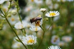 Abeja que se sienta en una flor con los pétalos blancos Fotografía de archivo libre de regalías