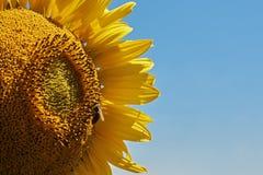 Abeja que se sienta en una flor del girasol con un backg claro del cielo azul Foto de archivo libre de regalías