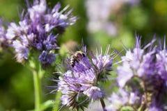Abeja que se sienta en una flor del prado Imagen de archivo libre de regalías