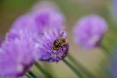 Abeja que se sienta en una flor púrpura de la cebolleta Imagen de archivo libre de regalías