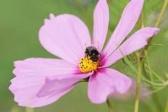 abeja que se sienta en una flor rosada Fotos de archivo