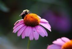 abeja que se sienta en una flor rosada Foto de archivo libre de regalías
