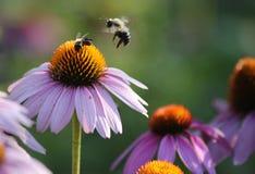 abeja que se sienta en una flor rosada Imagen de archivo libre de regalías
