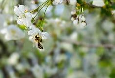 Abeja que se sienta en una rama de la cereza. Fotografía de archivo libre de regalías