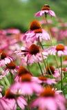 Abeja que se sienta encima de la flor rosada Foto de archivo libre de regalías