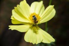 Abeja que se sostiene en flor con cierre encima de la visión detallada Imágenes de archivo libres de regalías