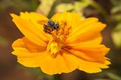 Abeja que se sostiene en flor con cierre encima de la visión detallada Fotos de archivo libres de regalías