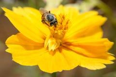 Abeja que se sostiene en flor con cierre encima de la visión detallada Fotos de archivo