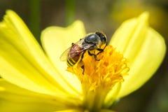 Abeja que se sostiene en flor con cierre encima de la visión detallada Imagenes de archivo