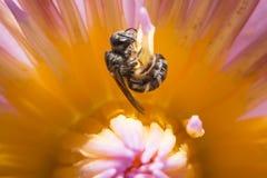 Abeja que se sostiene en flor del loto con cierre encima de la visión detallada Fotografía de archivo libre de regalías