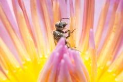 Abeja que se sostiene en flor del loto con cierre encima de la visión detallada Imagen de archivo libre de regalías