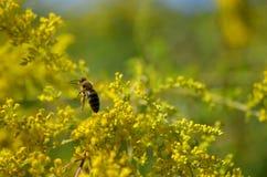 Abeja que se va volando con la miel después de polinizar Fotografía de archivo libre de regalías