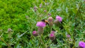 Abeja que sienta la flor púrpura Fotos de archivo