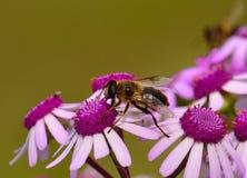 Abeja que sorbe pequeño webbii interior del pericallis de las flores salvajes Imagenes de archivo