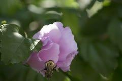Abeja que sube en la flor Fotos de archivo libres de regalías