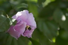 Abeja que sube en la flor Imagenes de archivo