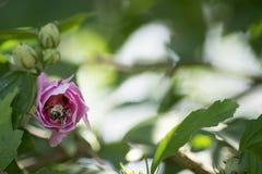 Abeja que sube en la flor Imágenes de archivo libres de regalías